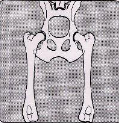 Csípőízületi diszplázia, 1-es ábra
